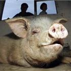 Газовая свинья